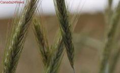 Much needed rain needed in Saskatchewan to boost crop development