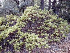 Pointleaf Manzanita, Mexican Manzanita | Latin Name: Arctostaphylos pungens | Native Habitat: Southwest and Mexico from 2,700' - 8,000'| Family EricaceaeSunset zones / USDA zones / 5-10Type / FormTree / Small | Soil: Dry, decomposed granite, acidic, sand, clay loam low in organic content, well drained | Water: None to once per month for first year | Exposure: Full sun | Height X Width: Maximum 6' X 6' | Leaves: Green, EVERGREEN, point at sun | Flowers: Monoecious; perfect, urn-shaped, 1/4…