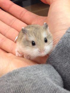 My new baby dwarf hamster, Tiny! [karry1212]