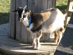 Pet Goats | Why Goats Are The Best Animal To Have On Your Farm | Self Sufficiency and Homesteading Ideas by Pioneer Settler at http://pioneersettler.com/goats-best-farm-animal/
