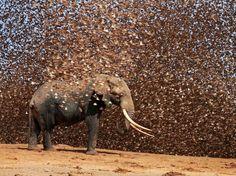 O fotógrafo Antero Topp, 60 anos, registrou o momento em que um grupo de pássaros tenta impedir a passagem de elefantes de chegar a um poço onde bebiam água, no Quênia. O esforço das aves deu certo e os cinco gigantes que tentavam se refrescar tiveram que sair do local. Veja a seguir mais imagens incríveis do nosso planeta em comemoração ao Dia Mundial do Meio Ambiente