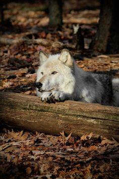 Wolf By ~Heatherae Beautiful Creatures, Animals Beautiful, Cute Animals, Wolf Spirit, Spirit Animal, Der Steppenwolf, Tier Wolf, Husky, Wolf Pictures