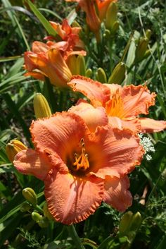 'Tennessee Sunset' Daylily