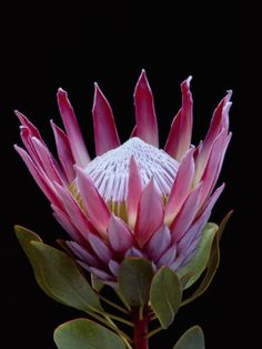 Not a tropical flower - it is a King protea - Protea Cynaroides - Fynbos from South Africa Flowers Nature, Exotic Flowers, Tropical Flowers, Amazing Flowers, Beautiful Flowers, Spring Flowers, Lilies Flowers, Draw Flowers, Silk Flowers
