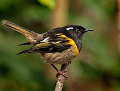Hihi or Stitch bird NZ Horse Pictures, Art Forms, New Zealand, Flora, Scenery, Birds, Stitch, Artist, Animals