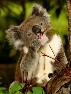 Koala beim Eukalyptus-Mahl II