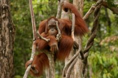 Tracking orangutans in the Danum Valley, Malaysian Borneo (September 2012)