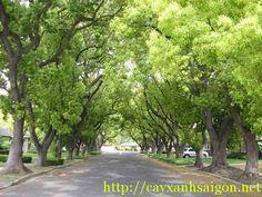 Cây Long Não hay còn gọi là cây rã hương. Là loài Cây gỗ lớn có thể cao tới 40m, đường kính đạt 200cm, dùng làm bóng mát, lấy tinh dầu