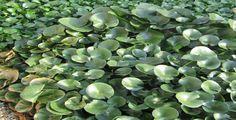 Aquatic Macrophyte: Water hyacinth [Eichhornia crassipes (Mart.) Solms; Pontederiaceae].