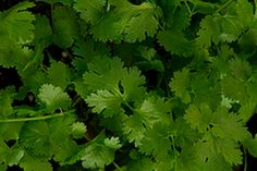 Cilantro Chinese Parsley Coriander 100 Seeds by Seedsandscents