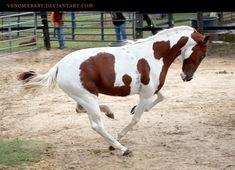 chestnut paint stallion 1 by venomxbaby.deviantart.com on @deviantART