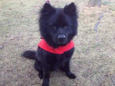 SAFE --- SUPER URGENT 11/20/13  Staten Island Center   CHARKEE - A0985408  *** SAFER: EXPERIENCED HOME, NO CHILDREN ***   MALE, BLACK, AKITA MIX, 8 yrs  STRAY - STRAY WAIT, NO HOLD Reason STRAY  Intake condition GERIATRIC Intake Date 11/19/2013, From NY 10305, DueOut Date  ORIGINAL THREAD : https://www.facebook.com/photo.php?fbid=710605135619035&set=a.617942388218644.1073741870.152876678058553&type=3&theater