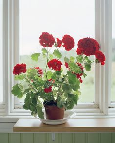 Plants That Will Actually Make You Happier at Home Geraniums~The masses of richly-hued flowers have always cheered us up, but the mild scent of the geranium plant (which is similar to that of roses) has been thought to promote peace of mind. Container Gardening Vegetables, Succulents In Containers, Container Flowers, Container Plants, Vegetable Gardening, Fall Planters, Garden Planters, Geranium Plant, Plantas Indoor