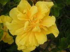 Lovely yellow Hibiscus and a great post on my personal results as a Bubbler on Bubblews. Read more.