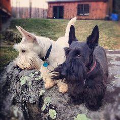 Black and Wheaten Scottish Terrier