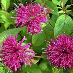 Monarda 'On Parade' - THE MAROON FLOWERS ON THIS BEE BALM IS TOO LUSH TO RESIST - IT WILL BLOOM ALL THRU THE SUMMER FROM JULY, AND HAS EXCELLENT MILDEW RESISTANCE - A THRILLER PERENNIAL IN YOUR CONTAINER GARDENS, CATHY T
