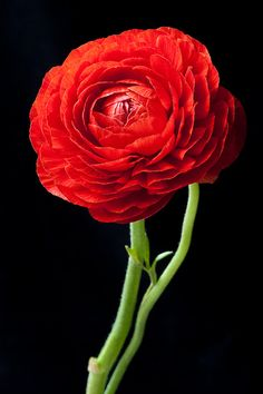 Ranunculus flower by LauriePix1
