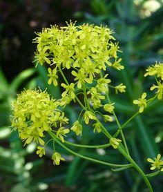 Isatis tinctoria, plante de la famille des brassicacés, qui sert à élaborer le bleu pastel