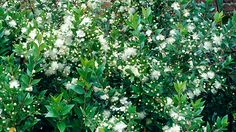 Myrtus communis is a sweetly-scented evergreen with creamy-white flowers in summer, followed by blue berries.