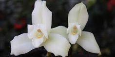 Resultado de imagen de flor guatemala