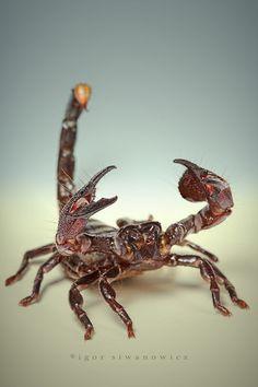 Scorpion mwaahahahaa  Awakening MUDFace zaps scorpion stings in a second!  Apply…
