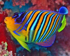 colorful angel fish