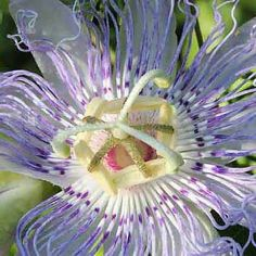 """Read about the Native Passionflower — a tasty fruit and a useful herb. These gorgeous vines are also known as """"maypops,"""" and are easy to find."""