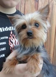 JENNA is an adoptable Yorkshire Terrier Yorkie Dog in Ravenna, OH. PLEASE FOLLOW THE DIRECTIONS BELOW BEFORE EMAILING US: Please visit our main website at www.a1k9rescue.com for more info, pictures, a...