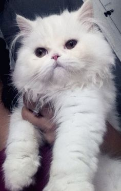 Perseus white doll face persian