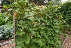 Growing beans on trellis in vertical vegetable garden