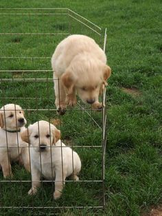 The Golden Retriever is a large-sized breed of dog bred as gun dogs to retrieve… Animals And Pets, Baby Animals, Funny Animals, Cute Animals, Cute Puppies, Cute Dogs, Dogs And Puppies, Doggies, Puppies Tips