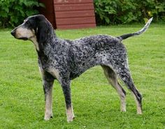 The Petit Bleu de Gascogne has a thick, dense coat. The ears are low set, thicker and less curled than its cousin the Grand Bleu de Gascogne. They must reach end of nose or, longer.The long head is long, refined looking. Narrow rather than wide, and slightly convex. The stop is only barely defined, even less so than in the Grand Bleu. FOREFACE Long and slightly aquiline. Corners of the lips are well marked.The chest is deep, providing ample space for the large lungs.
