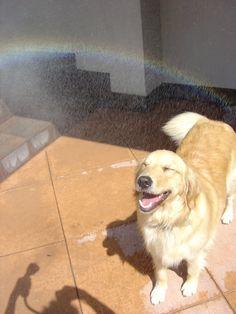 Golden Retriever under a rainbow.