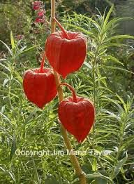 Image result for cage d'amour fruit