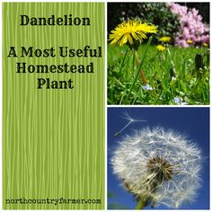 The Dandelion is very useful homestead plant.  North Country Farmer