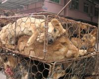 Stop Chinese Fur Farms – No More Animal Abuse! Vulnerable, helpless, and suffering.These words describe the millions of individual animals who are trapped on Chinese fur farms, where each year more than 2 million cats & hundreds of thousands of dogs are tormented & killed for their fur. Most of these animals are dragged from their cramped, filthy cages to a block of wood, where their feet & tails are mercilessly chopped off, then they are hung upside down & there fur is ripped from their…