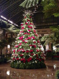 Poinsettia tree @Longwood Gardens