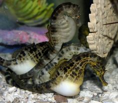 Pot Bellied Seahorses    Hippocampus abdominalis