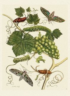Buyenlarge 'Grapevine with Vine Sphinx' by Maria Sibylla Merian Graphic Art Size: Botanical Drawings, Botanical Illustration, Botanical Prints, Botanical Posters, Butterfly Metamorphosis, Sibylla Merian, Vitis Vinifera, All Nature, Science Art