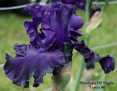 IRIS SHADOWS OF NIGHT – Stout Gardens at Dancingtree