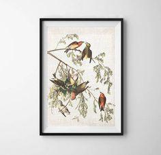 179a8867427 Crossbill Audubon Bird Print