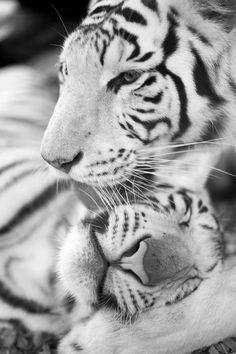 Black and White - Tiger Love!