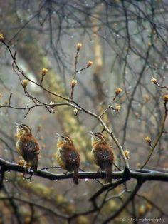 Three Birds Singing