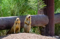 Two prairie dogs in Bryce National Park. One is screaming while the other is looking around to see what the first is screaming about. Bryce National Park, National Parks, Prairie Dogs, Brown Bear, Polar Bear, Super Cute, Wall Art, Animals, Style