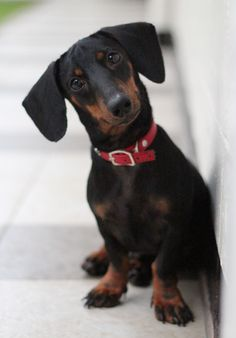 the doxie head tilt! Oh this looks like my Melanie Mu that passed so many years ago now :( www.savingpepper.com