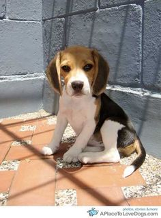 Are you interested in a Beagle? Well, the Beagle is one of the few popular dogs that will adapt much faster to any home. Cute Beagles, Cute Puppies, Cute Dogs, Dogs And Puppies, Toy Dogs, Art Beagle, Beagle Puppy, Best Dog Breeds, Best Dogs
