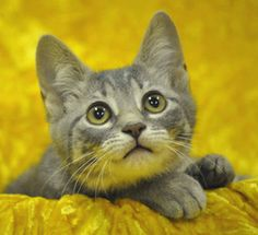 Silver Tabby is an adoptable Tabby Cat in Martinsburg, WV. This gorgeous kitten is up for adoption. Act fast! he won't be available for long! We also have many other kittens for you to choose from ....