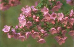 Prostanthera rotundifolia • Australian Native Plants Nursery • Partial to Deep shade / flowers purple or pink in spring