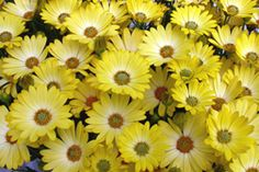 Order: Asterales;  Family: Asteraceae;  Subfamily: Asteroideae;  Tribe: Calenduleae;  Genus: Osteospermum.  Common Names:  African daisy, South African daisy, Cape daisy and blue-eyed daisy.