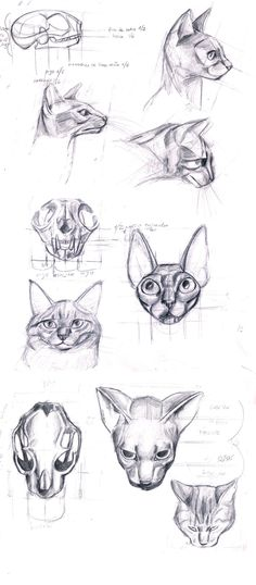 anatomy of the cat's head by ~sofmer on deviantART